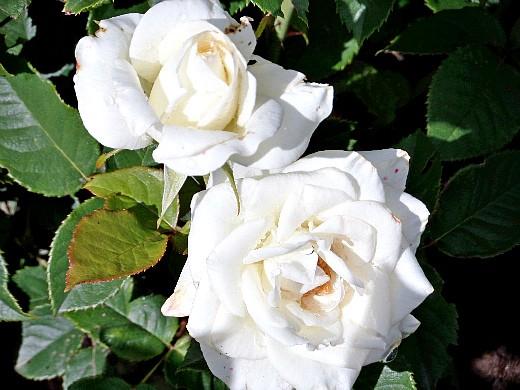 правильная обрезка роз - на дачной клумбе