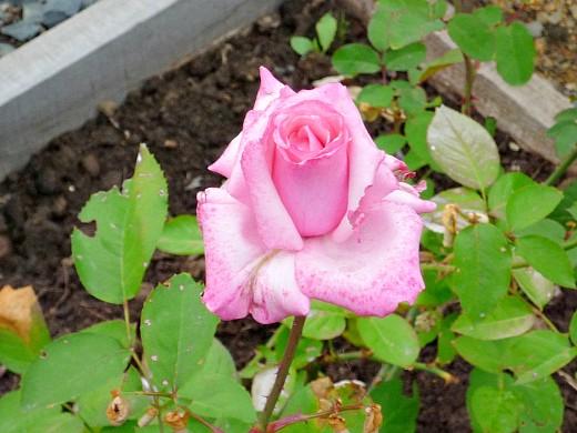 правильная обрезка роз 5