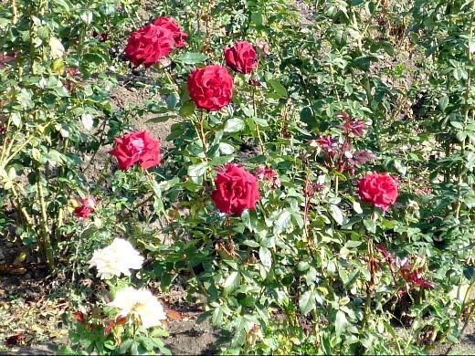 правильная обрезка роз - на даче