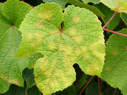 пятна на листьях винограда 1-10 хлороз