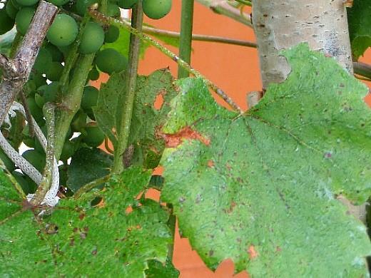 пятна на листьях винограда 1-6 антракноз