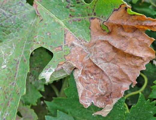 пятна на листьях винограда 1-7 краснуха