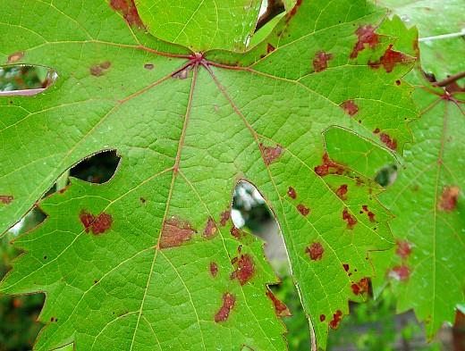 пятна на листьях винограда 1-8 милдью