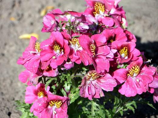 цветы схизантус, выращивание и уход