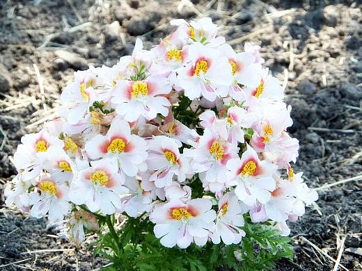 цветы схизантус, выращивание и уход - на клумбе