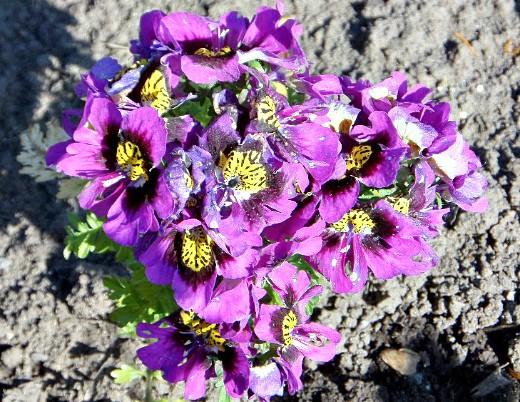 схизантус, выращивание и уход - на дачной клумбе