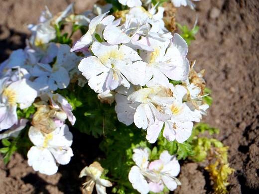 схизантус, выращивание и уход - на даче