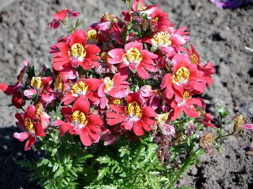 схизантус, выращивание и уход - на клумбе