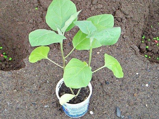 выращивание баклажанов в открытом грунте - перед высадкой в грунт