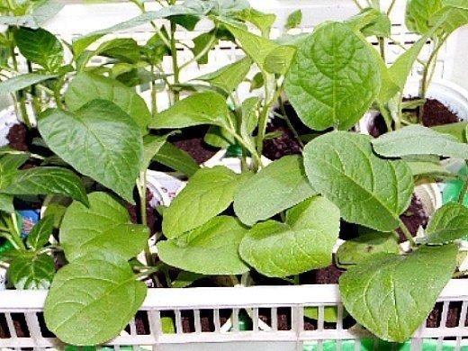 выращивание баклажанов в открытом грунте - пикирование