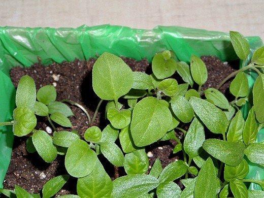 выращивание баклажанов в открытом грунте - рассада