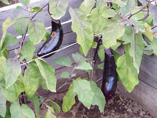 выращивание баклажанов в открытом грунте - в парнике