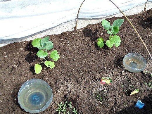 выращивание баклажанов в открытом грунте - высадка в парник