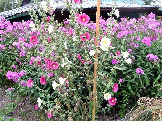 флоксы многолетние, посадка и уход - выращивание на дачном участке