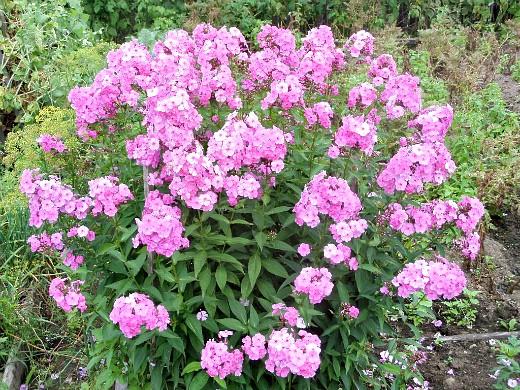 цветы флоксы многолетние, посадка и уход - розовые
