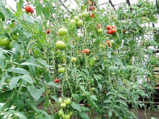 посадка и выращивание помидоров в теплице - гроздья томатов