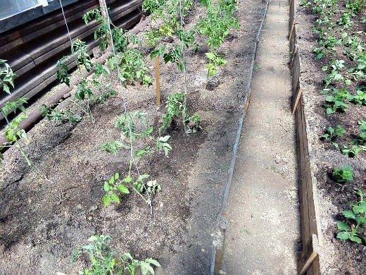 посадка и выращивание помидоров в теплице - подвязка молодой рассады