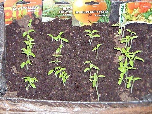 посадка и выращивание помидоров в теплице - рассада томатов