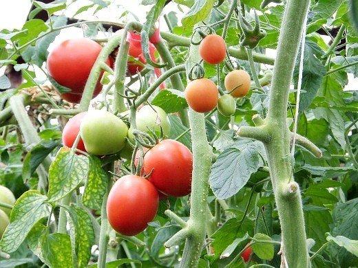 посадка и выращивание помидоров в теплице - спеющие томаты