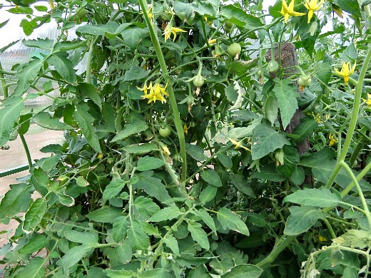 посадка и выращивание помидоров в теплице - цветение