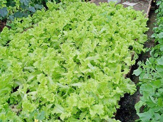 технология выращивания зелени в теплице - салат