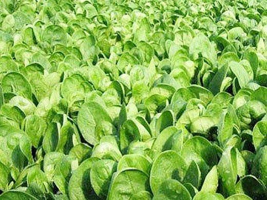технология выращивания зелени в теплице - шпинат