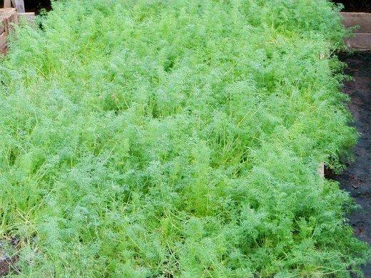 технология выращивания зелени в теплице - укроп