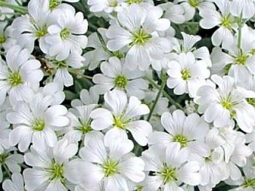 цветы ясколка, посадка и уход - на даче