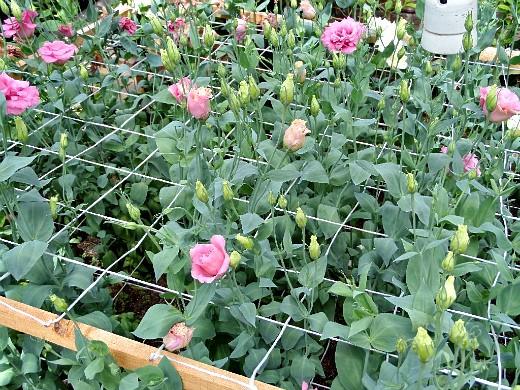 выращивание цветов в теплице - розы