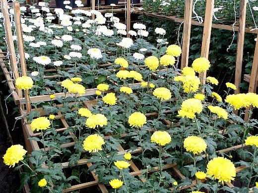 выращивание цветов в теплице - хризантемы