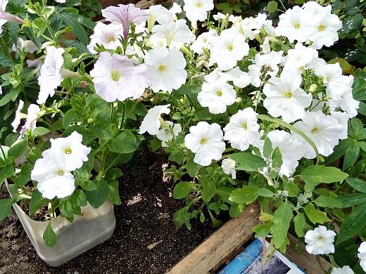 выращивание цветов в теплице - петунии