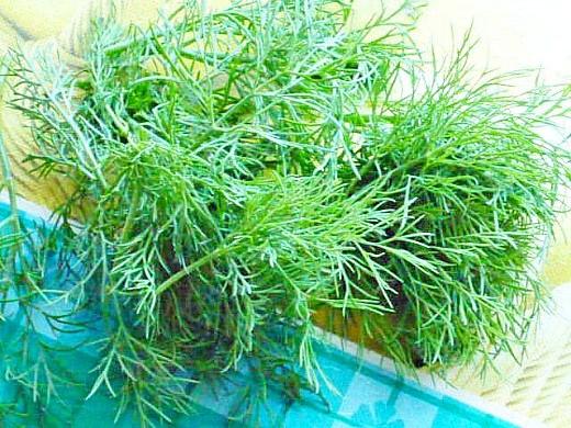 заготовка и хранение зелени на зиму - пучок укропа