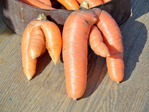 посадка моркови под зиму - урожай изгоев