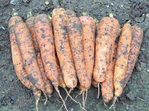 посадка моркови под зиму - урожай лосиноостровская и нантская 4