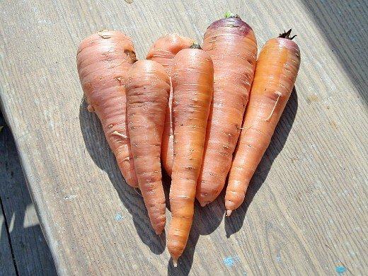 посадка моркови под зиму - урожай сорта лосиноостровская