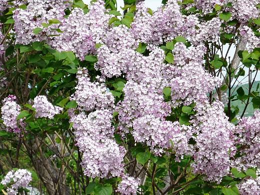 уход за деревьями и кустарниками весной 1-1