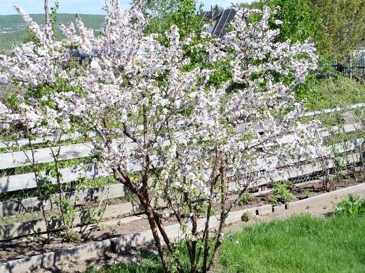 уход за деревьями и кустарниками весной 1-11