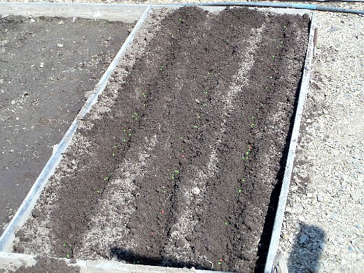 выращивание капусты в открытом грунте по методу миттлайдера