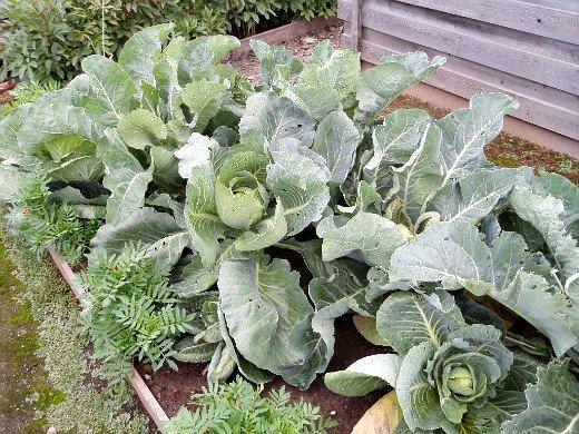 выращивание капусты в открытом грунте с бархатцами от вредителей