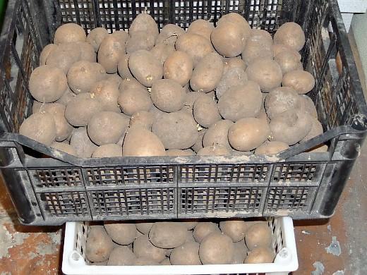 хранение картофеля зимой в подвале, погребе - в пластиковых ящиках