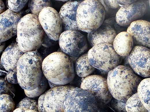 хранение картофеля зимой в подвале, погребе - выкопанные клубни