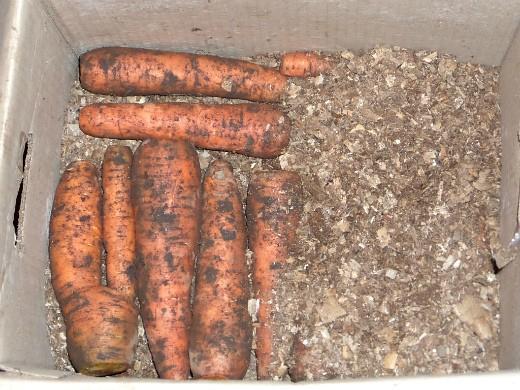 хранение моркови зимой в погребе, подвале - каждый слой просыпаем опилками