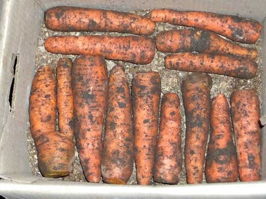 хранение моркови зимой в погребе, подвале - укладываем слоями в ящик