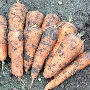 хранение моркови зимой в погребе, подвале - урожай 1