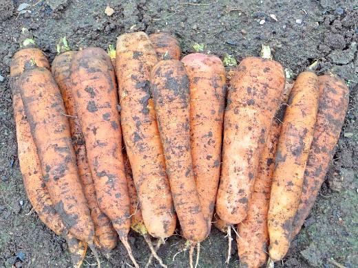 хранение моркови зимой в погребе, подвале - урожай 2