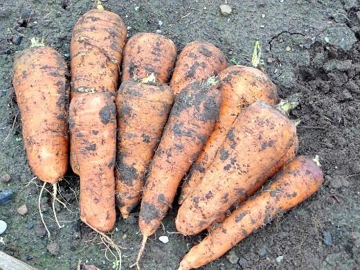 хранение моркови зимой в погребе, подвале - урожай