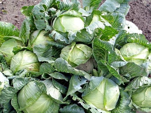 как хранить капусту в погребе зимой - часть урожая капусты