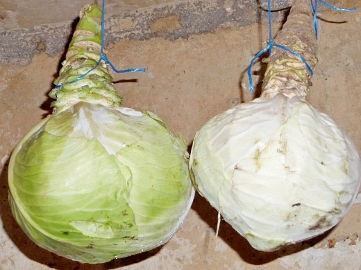 как хранить капусту в погребе зимой - подвешивание