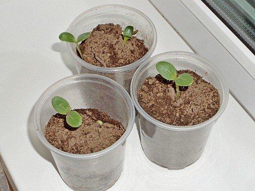 как правильно вырастить рассаду любых овощей - огурцов
