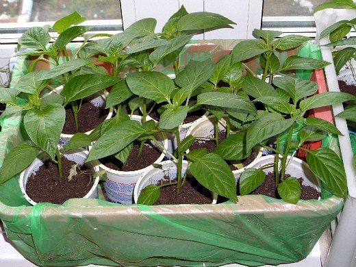как правильно вырастить рассаду любых овощей - перца